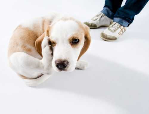 Is Your Pet Showing Signs of 'The Itch'?